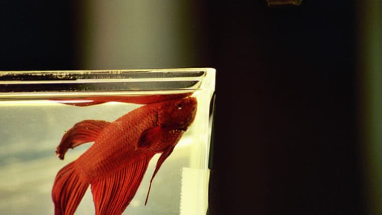 Betta Bouncing Back From Ammonia Burns