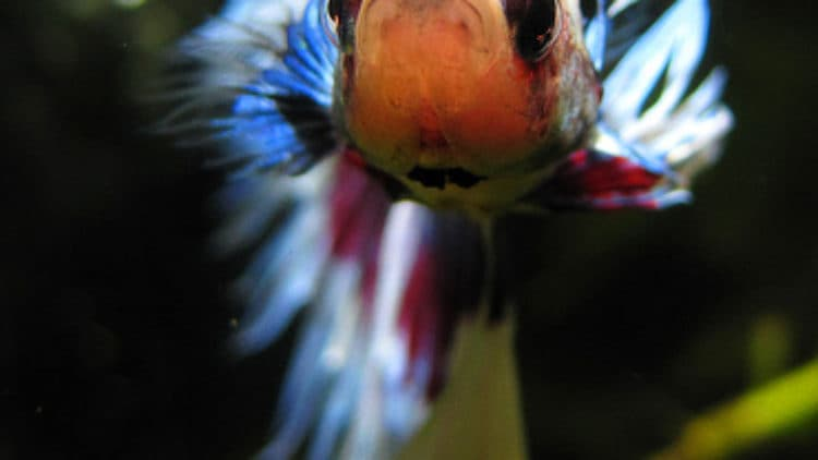 Betta fish care betta fish care for fighting fish for How long can a betta fish live