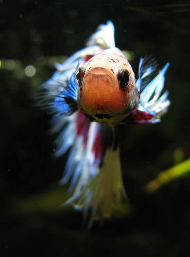 How long can a betta survive without food fish care for How long can a betta fish live