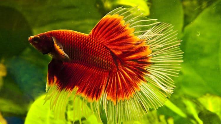 New Betta Fish is Sluggish and Not Eating