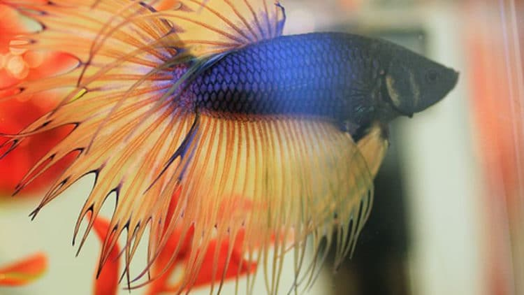 Common Signs of Stress in Betta Fish