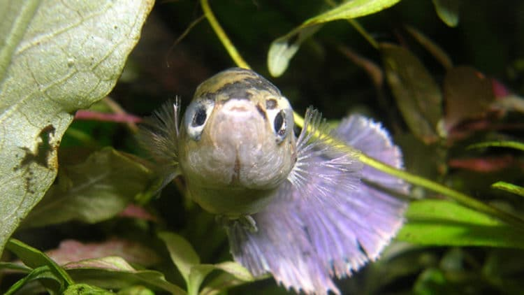 Can PH Fluctuations Lead to Illnesses in Betta Fish?