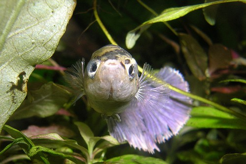 Can ph fluctuations lead to illnesses in betta fish for Cotton wool disease in fish