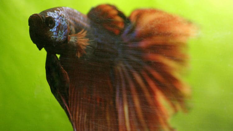 Tips for Caring for Betta Fish in the Spring