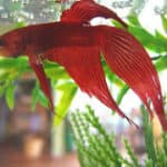 Choosing a Nutritious Diet for Bettas