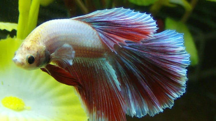 Betta with a Curved Body