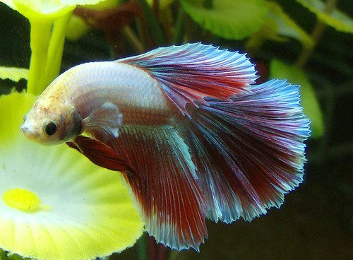 Betta with a curved body fish care for Bloated betta fish