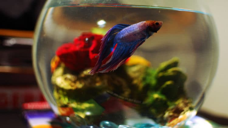 how to care for fighting fish