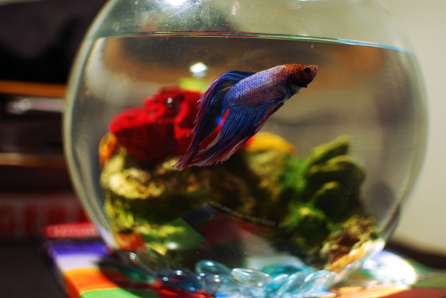 a warning about distilled water and betta fish fish care
