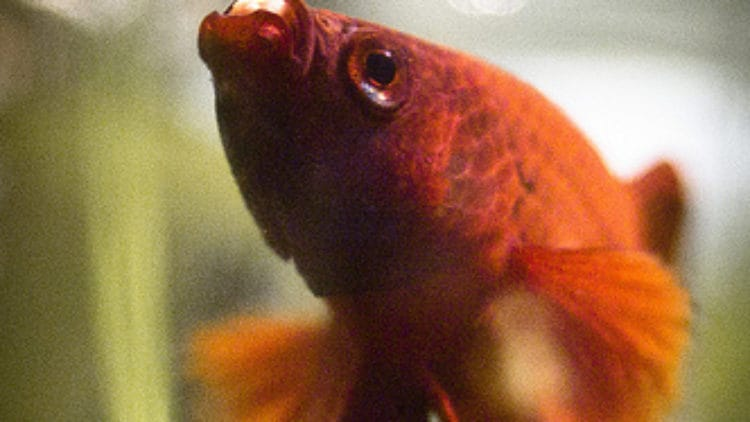 Top 4 Betta Fish Eating Problems