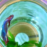 Abdominal Bleeding in Betta with Dropsy