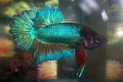 What is a plakat betta fish care for Betta fish behavior