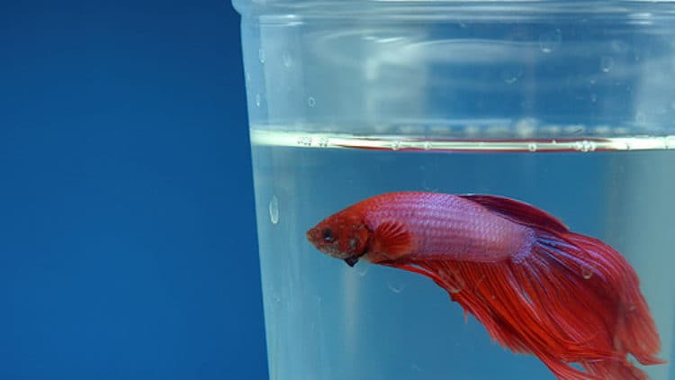 Angry Petitioners Fight Tiny Betta Fish Cups