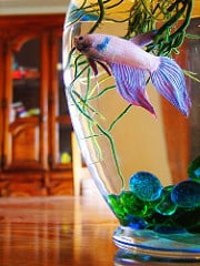 Bettas Don T Do Vegetarian Fish Care