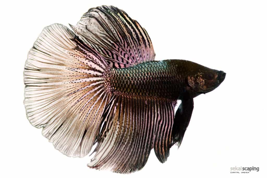 Bettas 101 Fish Care