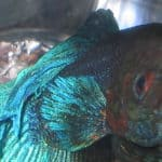Two Parts to Treating Fin Rot