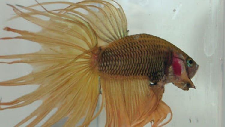 Would You Like a Nippyfish Betta?