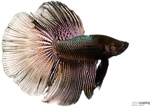 beautiful-betta-photo-by-Chantal-Wagner