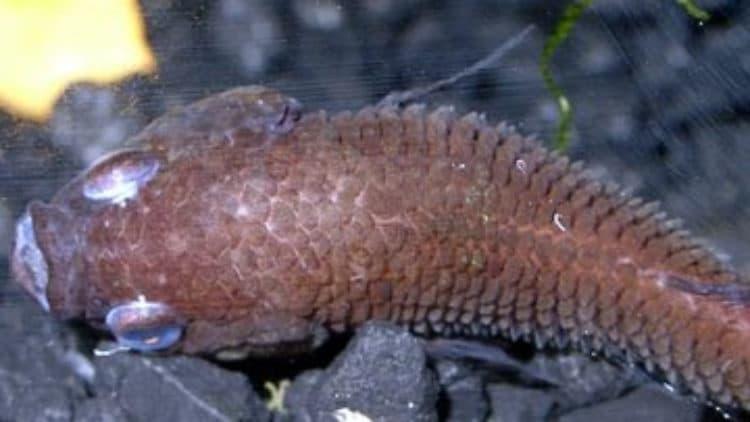 Symptoms of Dropsy in Betta Fish