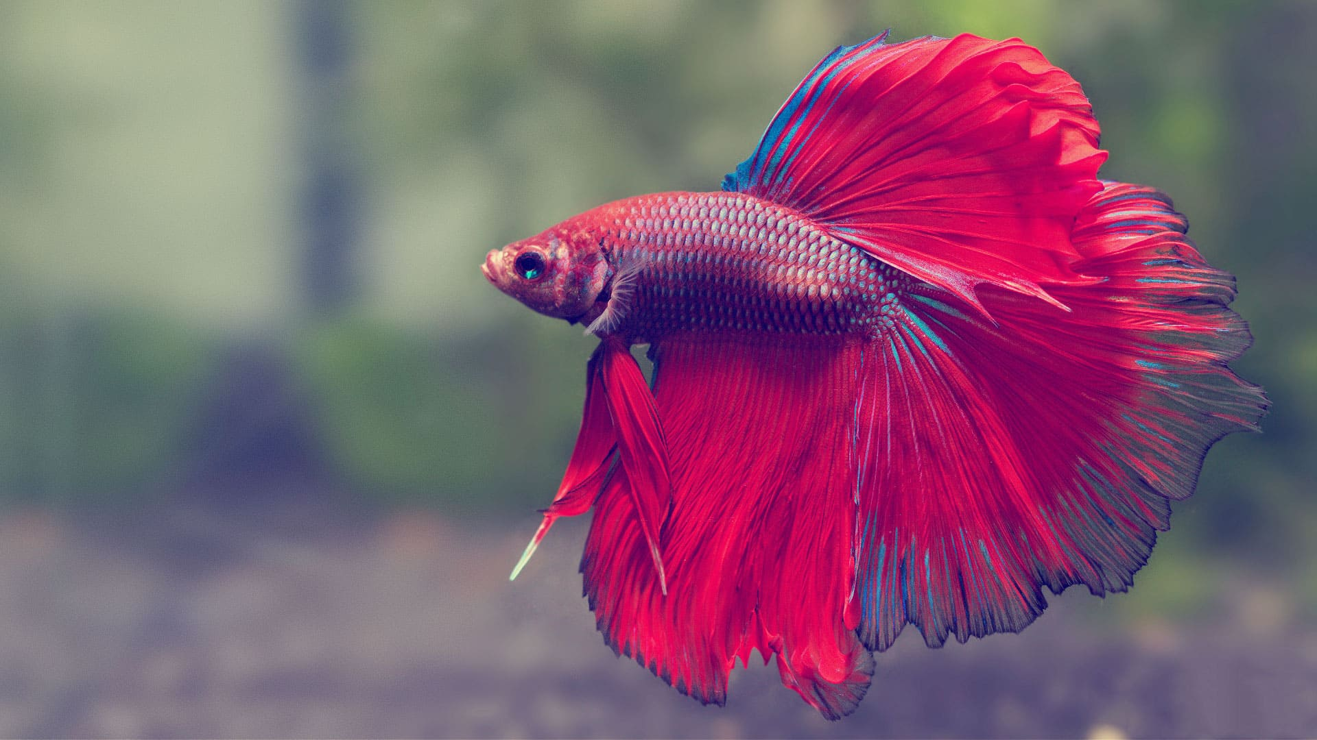 My experience in color morphs fish care for Betta fish ich