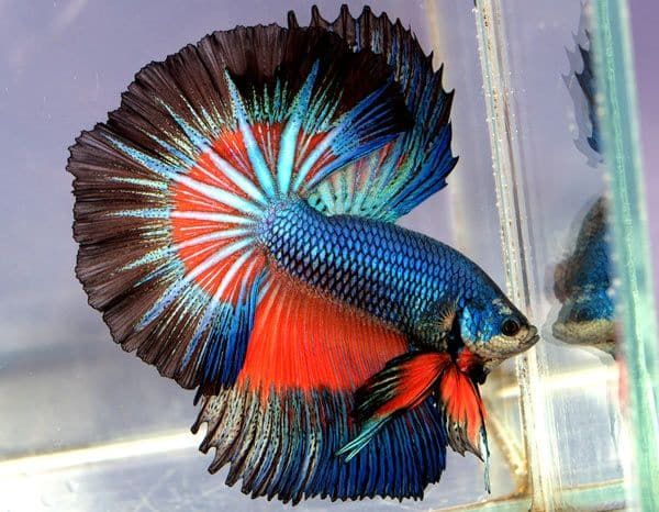 Betta fish photo 35mm with autofocus