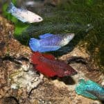 Community Females betta fish