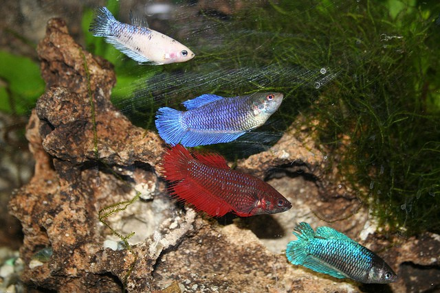 Community females betta fish fish care for Female betta fish names