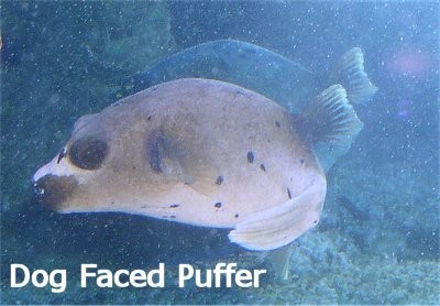 Dog Face Puffer 2