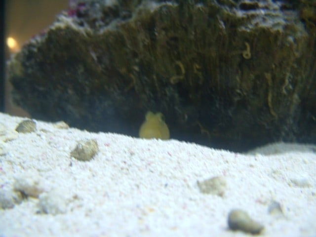 Goby Watchman