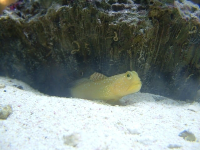 Goby Watchman 2