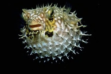Pufferfish Puffed 2