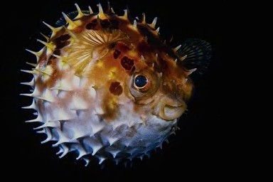 Pufferfish Puffed
