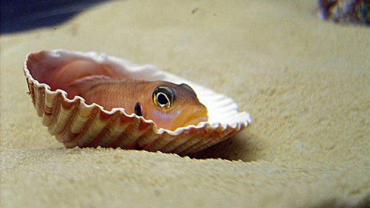 The Dwarf Shell-Dwelling Cichlid from Lake Tanganyika