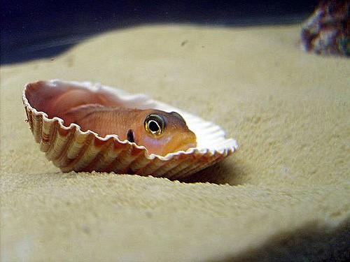 The Dwarf Shell-Dwelling Cichlid