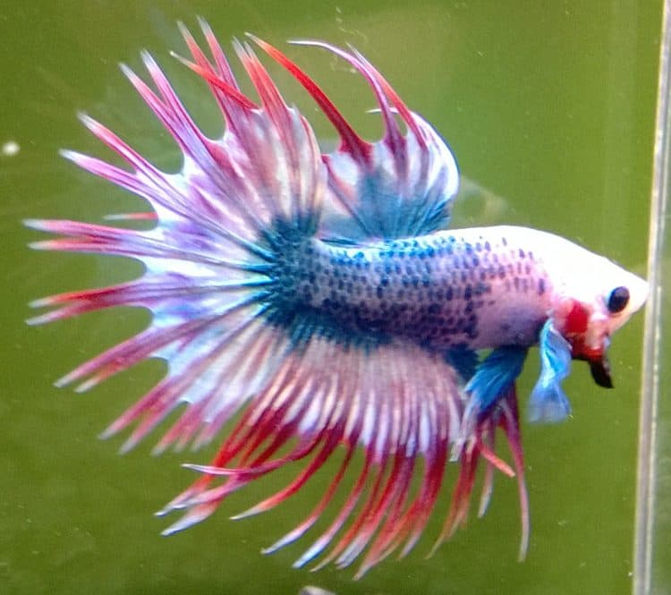 crown double tail betta
