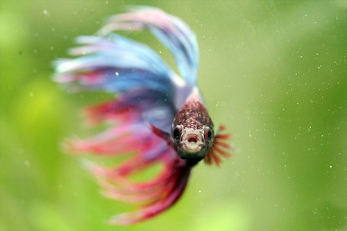 happy betta fish