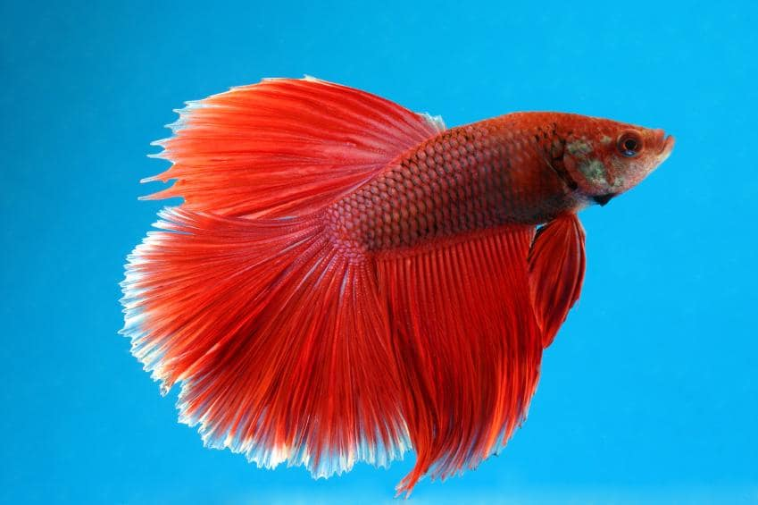 how to cure popeye in betta fish