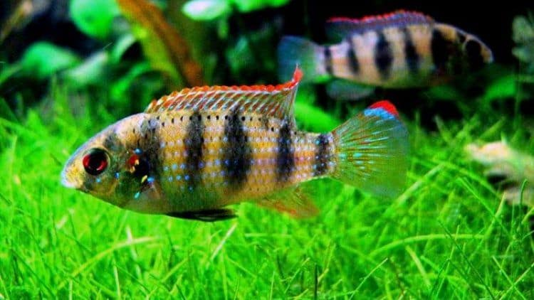 Breeding the African Butterfly Cichlid
