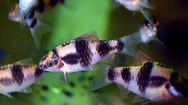 Barbus fasciatus – Absolutely Beautiful!