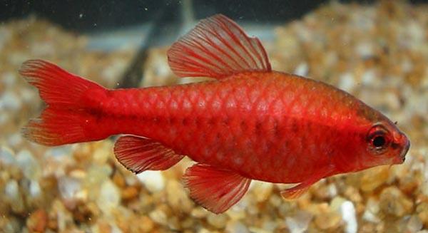 Barbus titteya cherry barb fish care for Cherry barb fish