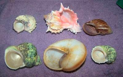 Brevis Shells Openings
