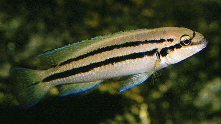 """Chalinochromis sp. """"Ndobnoi"""""""