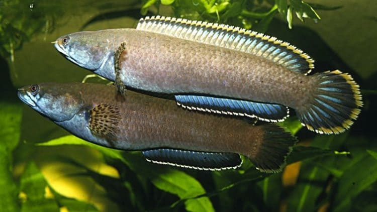 In Defense of Snakeheads. My Experience with Channa orientalis.
