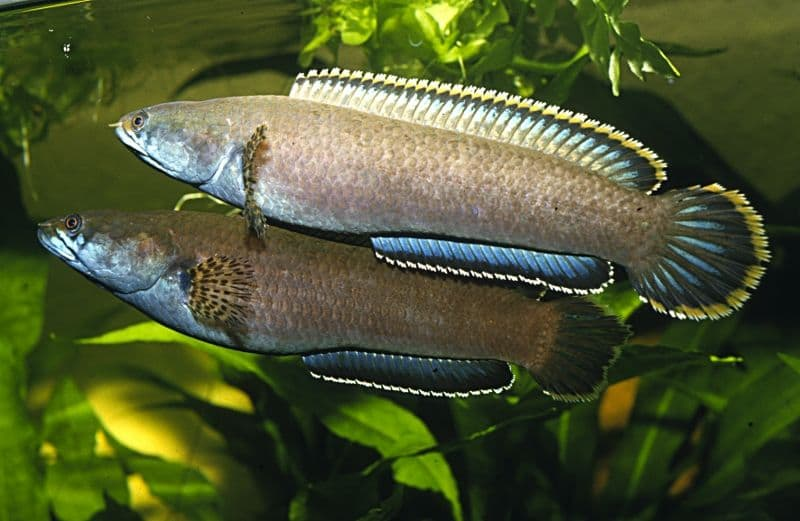 My Experience with Channa orientalis   Fish Care