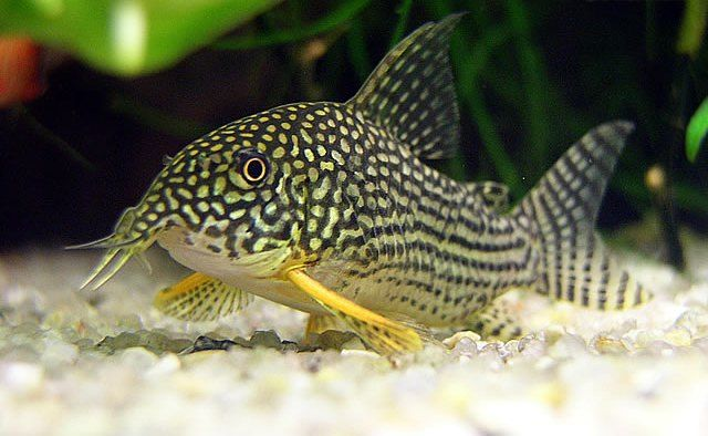 Catfish For Sale >> Corydoras Sterbai | www.pixshark.com - Images Galleries With A Bite!