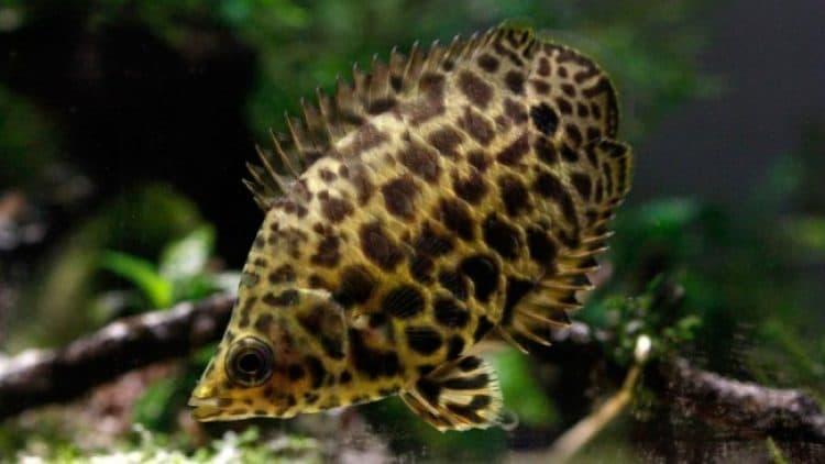 The Leopard Bushfish (Ctenopoma acutirostre)