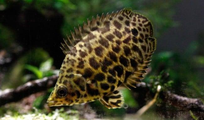 the leopard bushfish ctenopoma acutirostre fish care