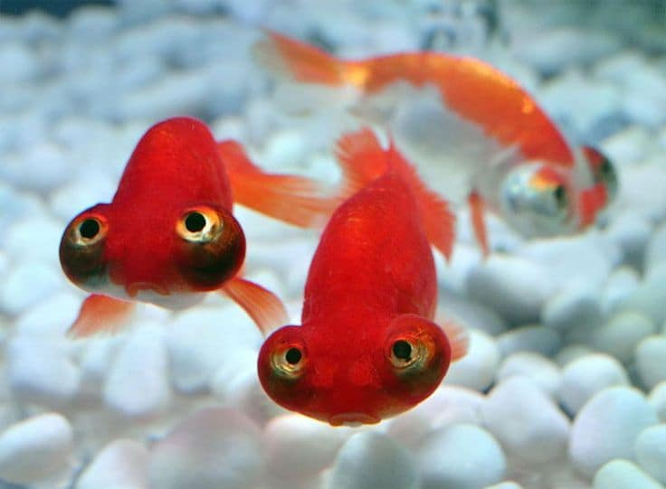 Goldfish Celestial