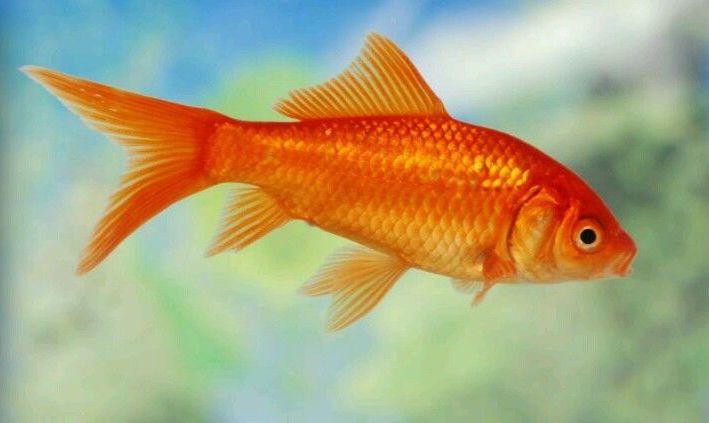 Goldfish FAQ - Fish Care