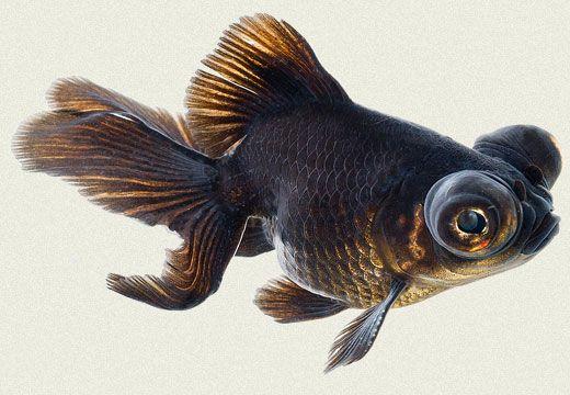 Goldfish Moor